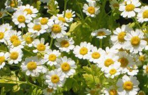 路边小花也有大作用,小白菊可提取抗癌物质插图