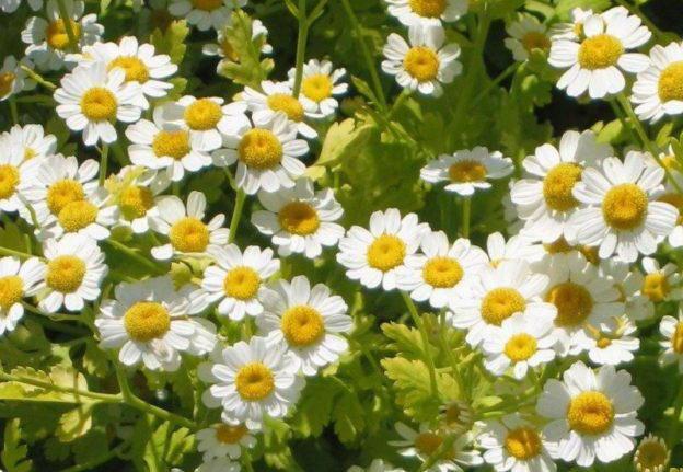 路边小花也有大作用,小白菊可提取抗癌物质