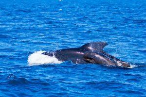 领航鲸的皮肤表面有着特殊的纳米结构,可以使微生物无法附着