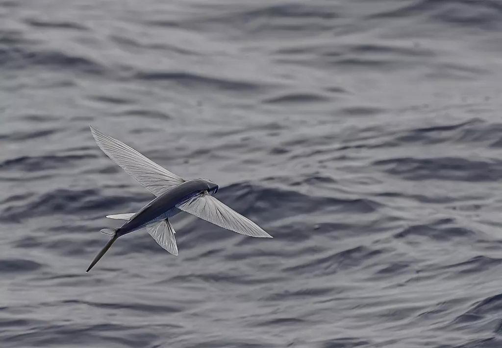 飞鱼最远能飞多远?飞多长时间?