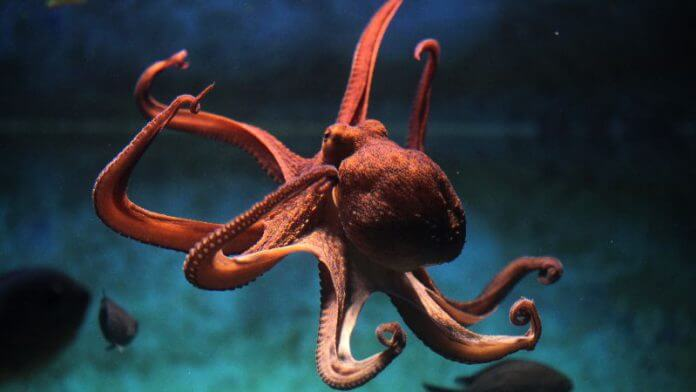 章鱼可能会因为一起狩猎的鱼类未做出贡献而用触手拍打惩罚它们