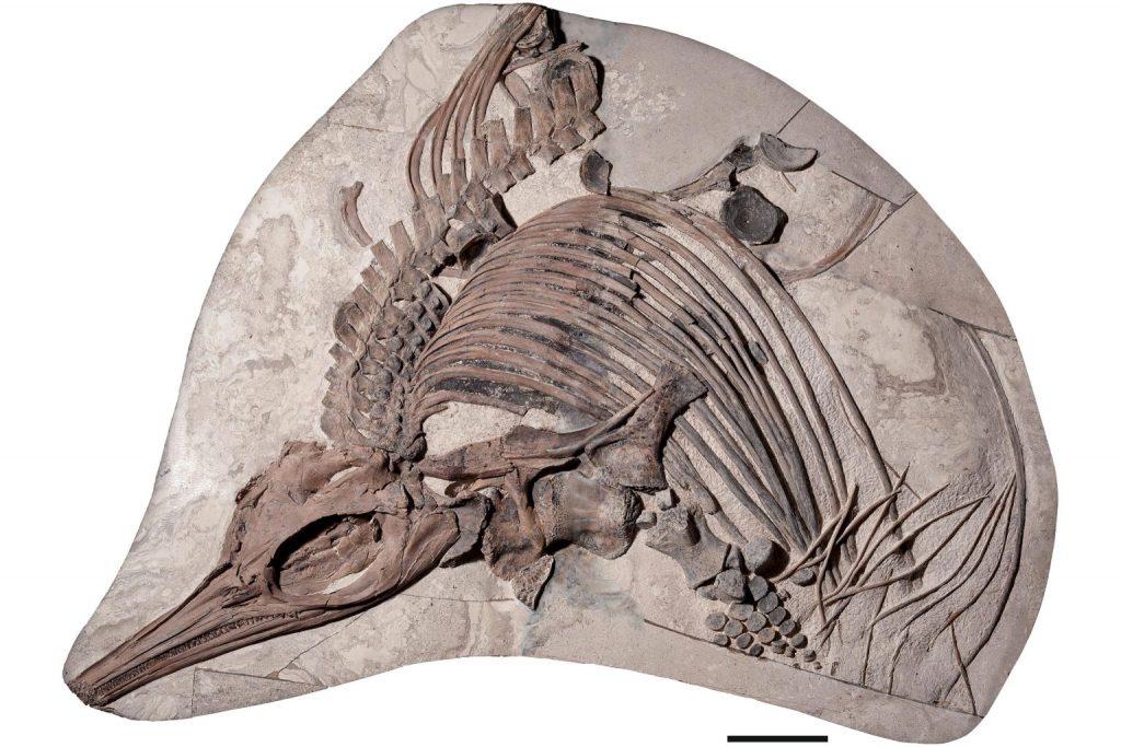 蚀刻鱼龙的化石,图片来源:Etches Collection,英国多塞特