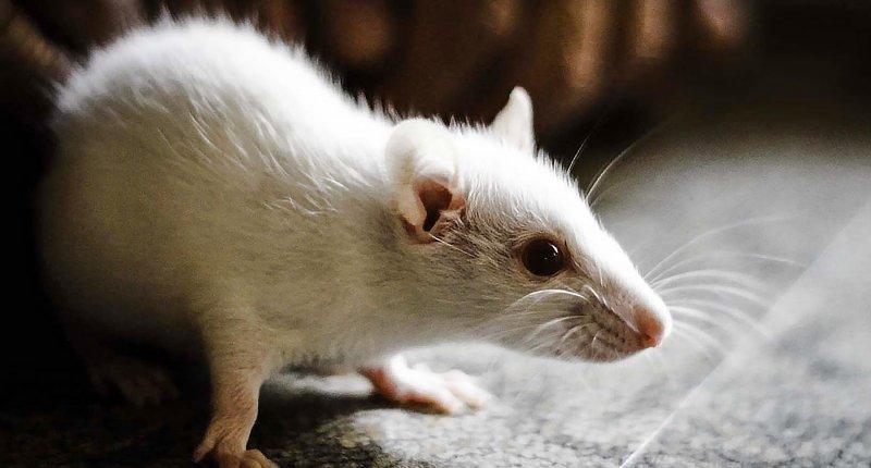 抑制15-PDGH蛋白就能让年老老鼠拥有强壮的体态