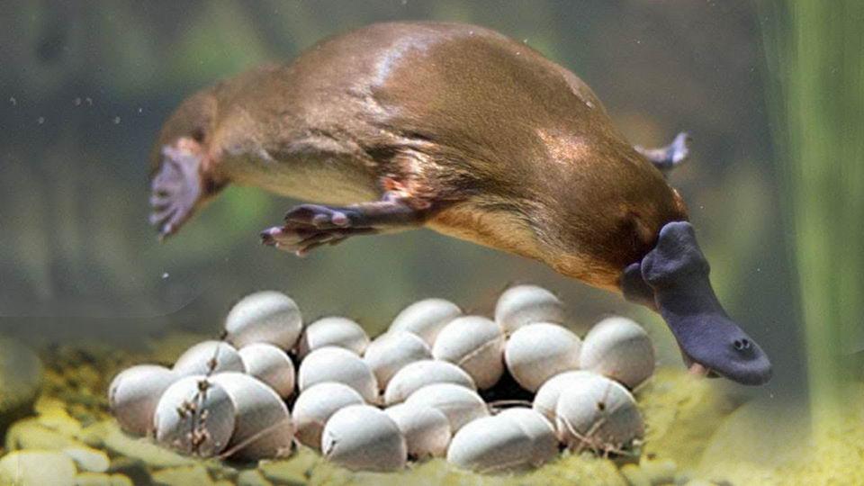 鸭嘴兽基因组测序完成:部分基因来自鸟类、爬行类及哺乳类插图