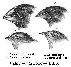 达尔文雀的鸟喙尺寸和形状差异很大,而这反应了它们的食性。